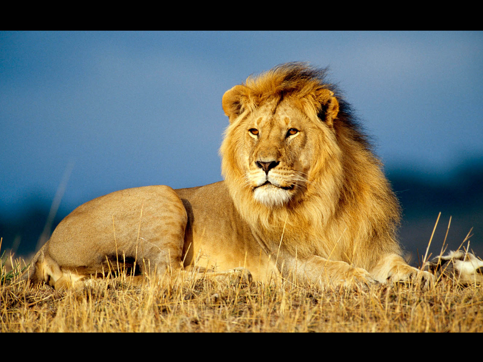 Male Lion Wallpapers 1