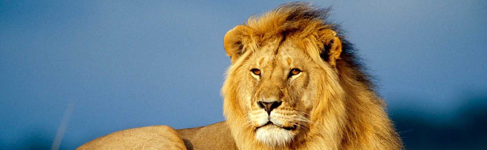 cropped-Male-Lion-Wallpapers-1-1.jpg