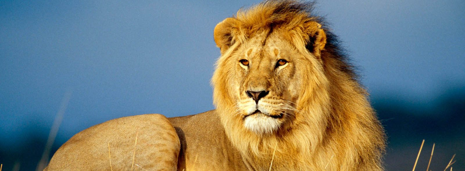 cropped-Male-Lion-Wallpapers-1.jpg