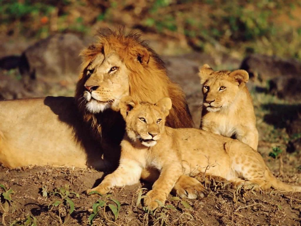 fotos-de-leones-2
