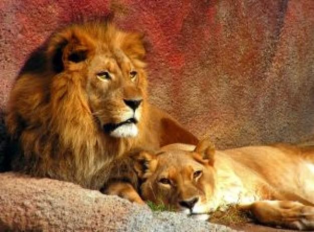 lions-resting_2756260